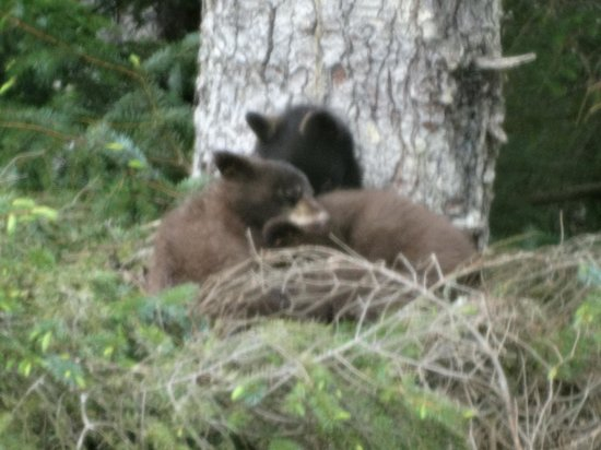 BEST WESTERN Grandma's Feather Bed: Bear cubs near Eagle Beach