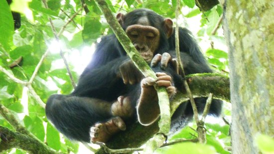 Kibale Forest Camp: Chimp in tree