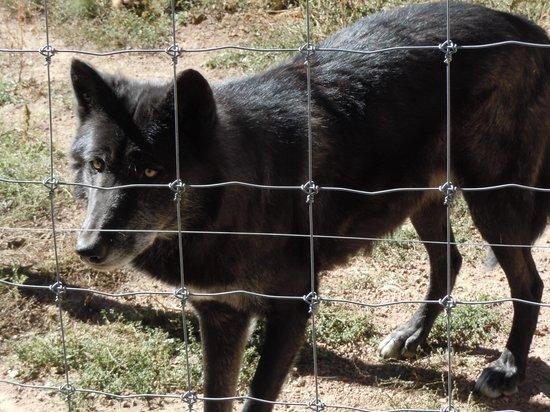 Colorado Wolf and Wildlife Center: Navi