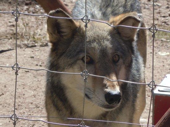 Colorado Wolf and Wildlife Center : Nakia