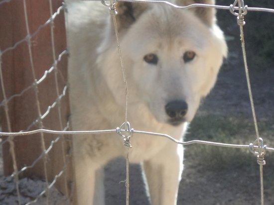 Colorado Wolf and Wildlife Center: Takota