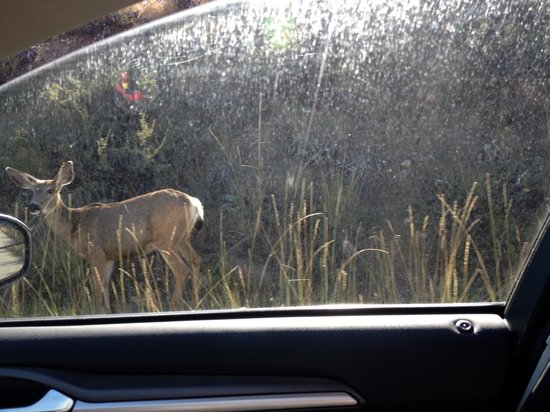 Sun Mountain Lodge: Deer in the Parking lot