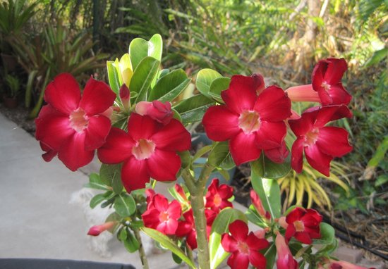 Bromeliad Bed and Breakfast: Red Desert Rose