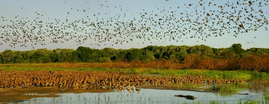 Davidson's Arnhemland Safari Lodge: Whistling ducks take flight