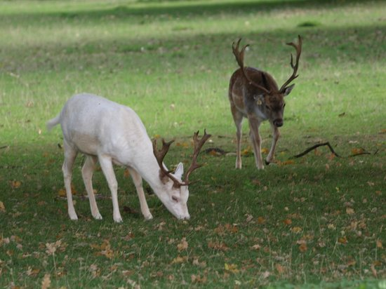 Fallow Deer in the grounds of Houghton Hall