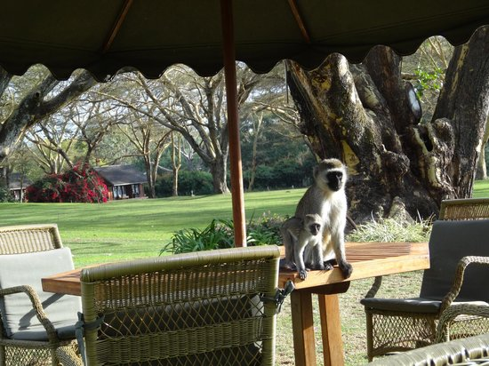 Lake Naivasha Country Club-Sun Africa Hotels: Monkey on the hotel's table outside