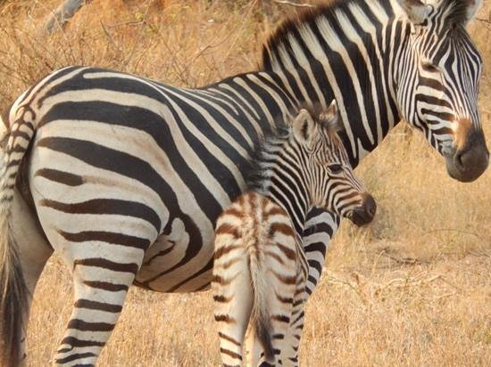 Londolozi Varty Camp: Zebra and her baby