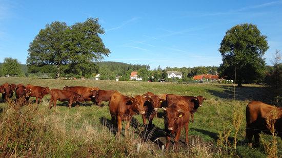Das idyllische Harzdörfchen Elend mit dem typisch Rotem Harzer Höhenvieh