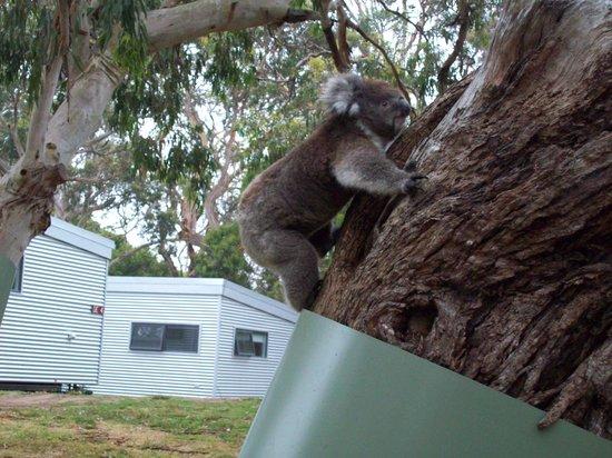 Bimbi Park - Camping Under Koalas: so close!