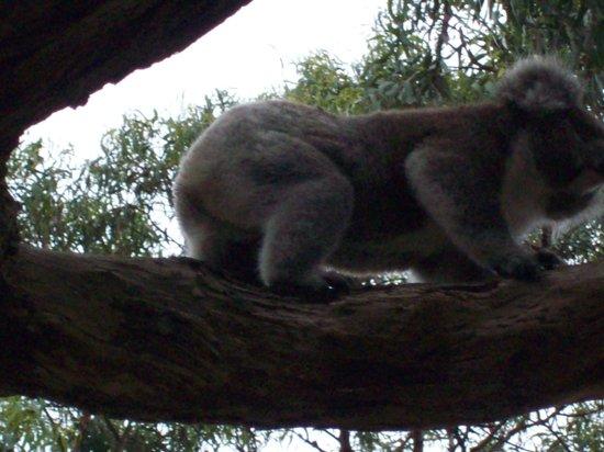 Bimbi Park - Camping Under Koalas: above our tent