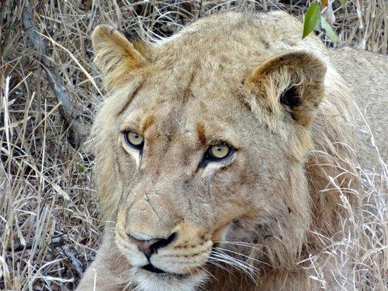 Gomo Gomo Game Lodge : Young male lion stalking a kudu.