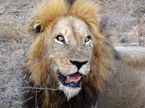 Gomo Gomo Game Lodge : Leo well fed at a buffalo kill