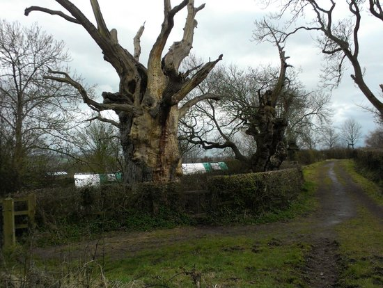 Old Oaks Touring Park and Glamping: Gog and Magog (the old oaks)