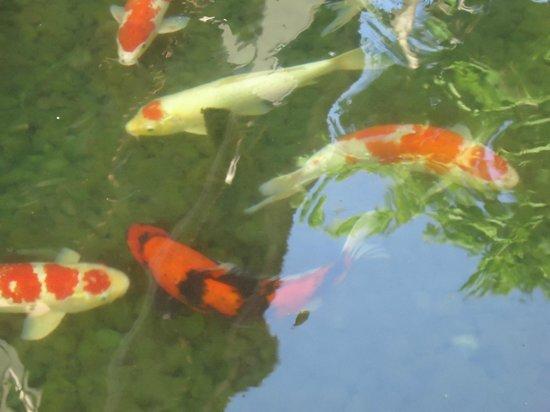 Koi Fish In Hotel Pond Picture Of Grand Aston Bali Beach