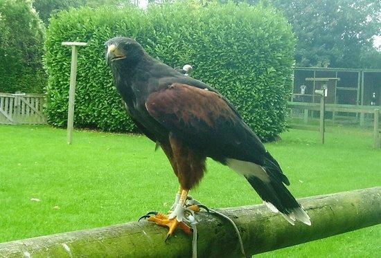 Liberty's Owl Raptor and Reptile Centre: Harris Hawk