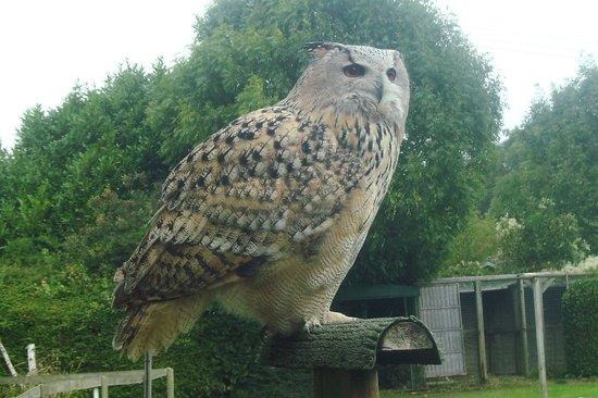 Liberty's Owl Raptor and Reptile Centre: Siberian Eagle Owl