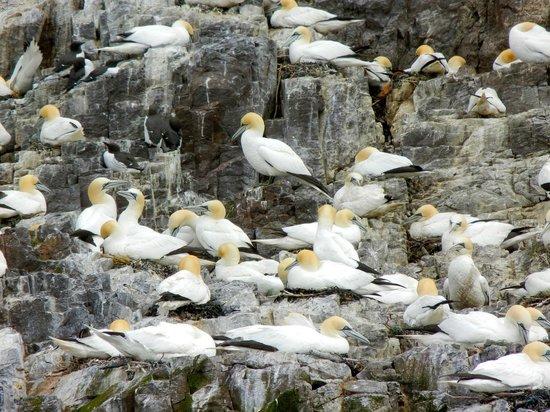 Scottish Seabird Centre: Northern gannets nesting on Bass Rock