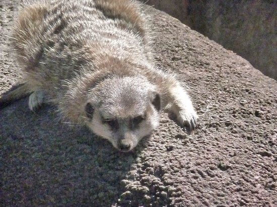 Riverbanks Zoo and Botanical Garden : Meerkats