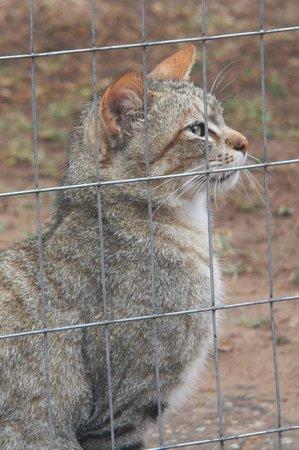 Emdoneni Lodge: Wildcat