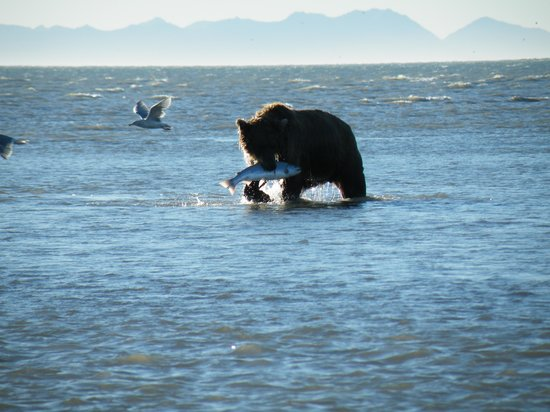 Alaska Bear Adventures: bear catching salmon