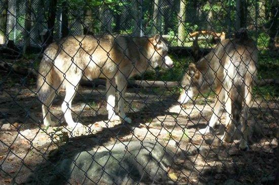 Lakota Wolf Preserve: wolves