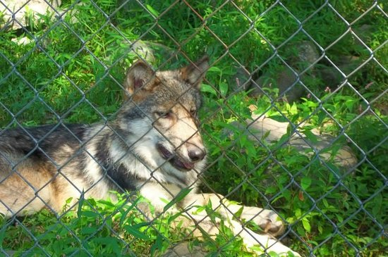 Camp Taylor: wolf preserve on site