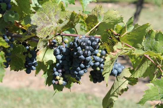 Botham Vineyards & Winery: Barneveld, Botham Winery, Grapes