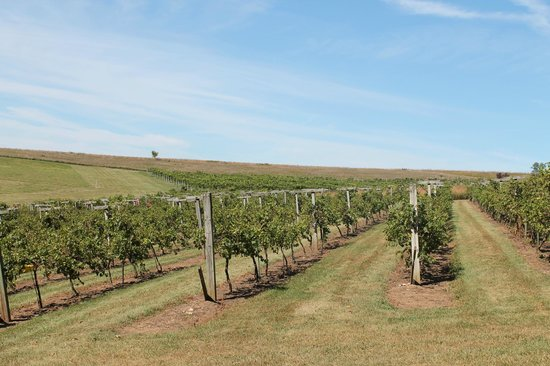 Botham Vineyards & Winery: Barneveld, Botham Winery, Vineyard