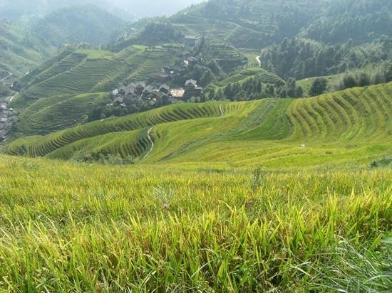 Long Sheng's Dragon Spine Rice Terraces: morning view down to ping 'an