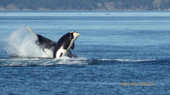 San Juan Safaris: Two whales breaching at the same time