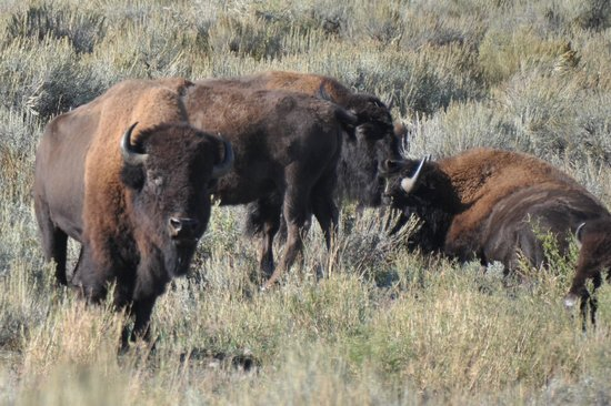 Antelope Flats: bison off the road