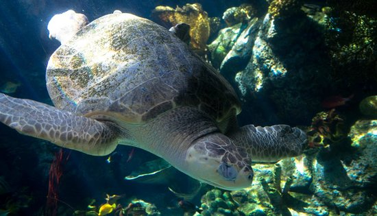 Green Turtle Picture Of Aquarium Of The Pacific Long