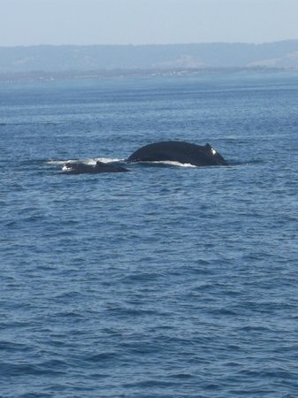Monterey Bay National Marine Sanctuary : humpback whales