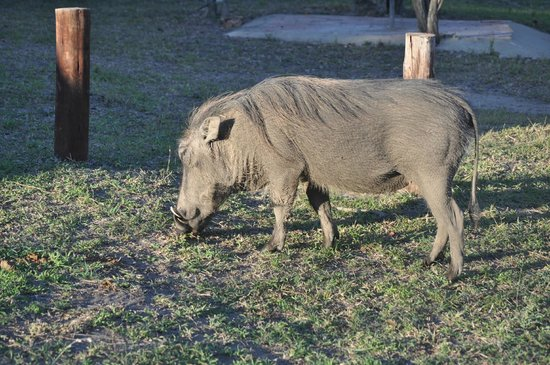 Mpila Camp: Warthog in camp by our tent no. 33