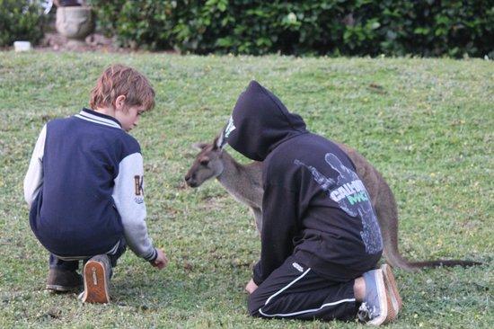 Dwellingup B&B and Chalets: Friendly kangaroos