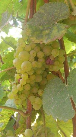 Staatspark Furstenlager: Grapes