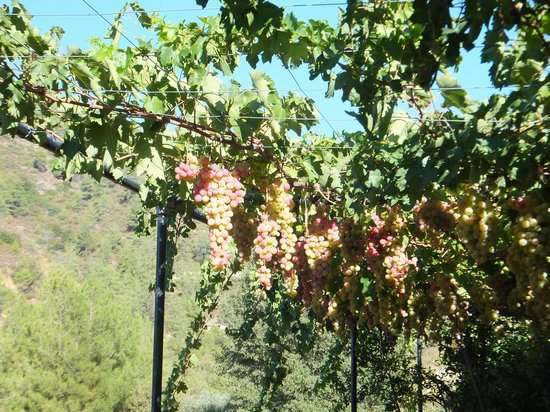 Ambelikos AgroHotel: Grapes galore