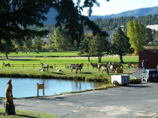 Discovery Lodge: Elk on hotel property