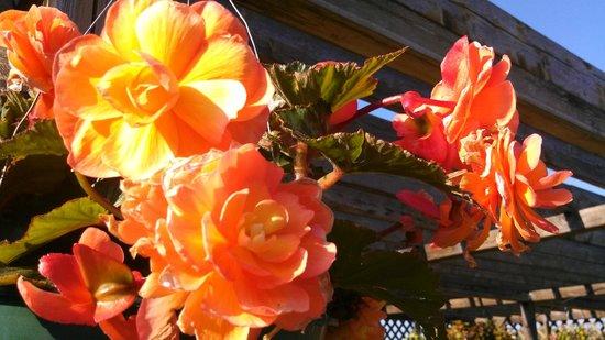 Georgeson Botanical Garden: Begonias in Shade Gardens