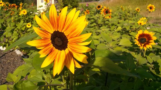 Georgeson Botanical Garden: Sunflower Gardens