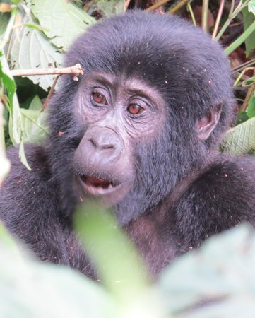 Silverback Lodge: Visit these fantastic animals while you can