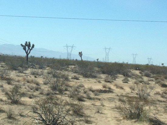 Mojave Desert : Joshua trees in the desert