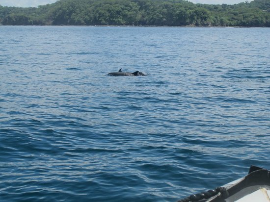 Rocket Frog Divers: Spotted Dolphins