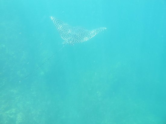 Rocket Frog Divers: Spotted Eagle Ray