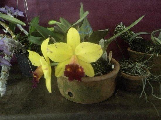 Marilia, SP: Orquídea amarela