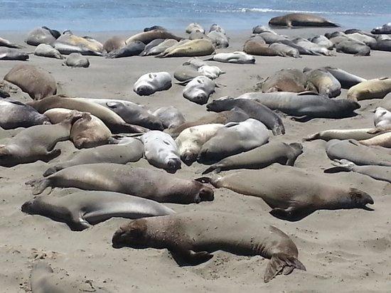Cayucos Shoreline Inn...on the beach : nearby activity - elephant seals