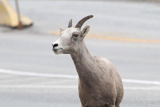 Mount Revelstoke National Park: Bighorn sheep at Kootenay National Park