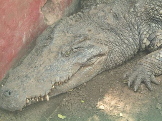 Guindy Snake Park: crocodile at snake park
