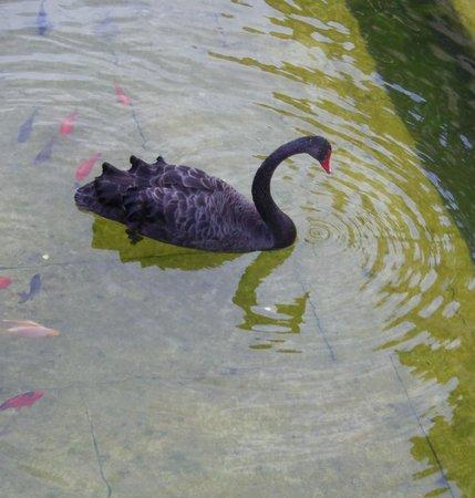 Jardins de la Fontaine : Black swan