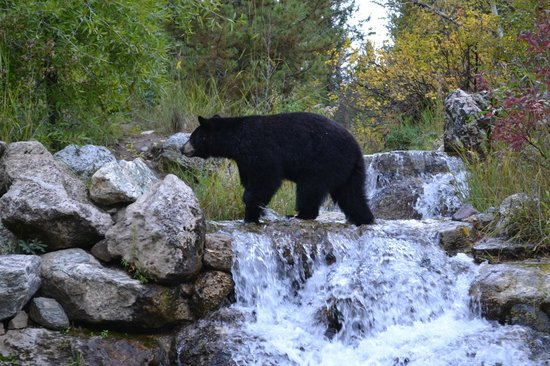 Laurance Rockefeller Preserve: Black bear crossing waterfall